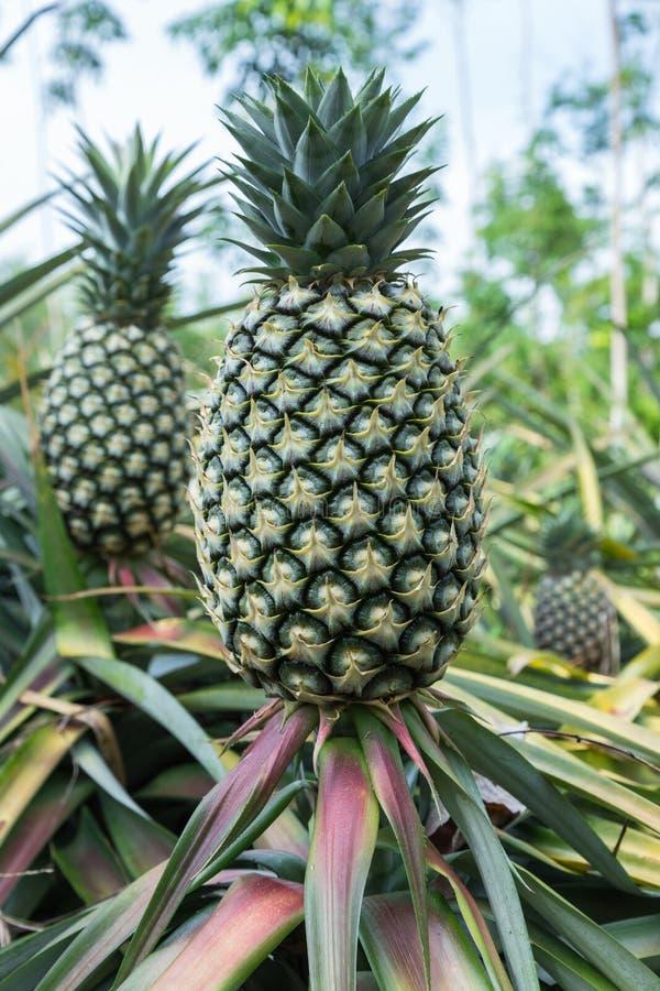 Verse ananas stock afbeelding