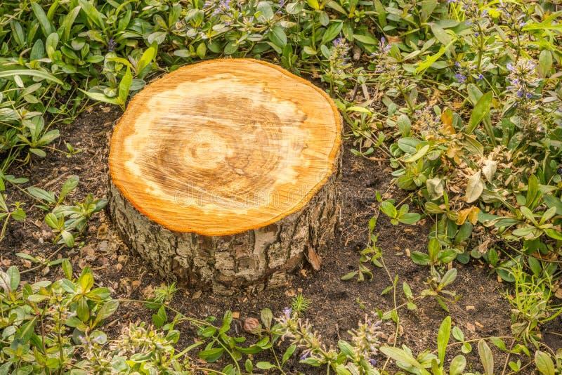 Verse besnoeiingsstomp van de boom van de greepappel stock afbeeldingen