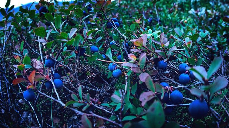 Verse bessenbosbessen in het bos royalty-vrije stock fotografie