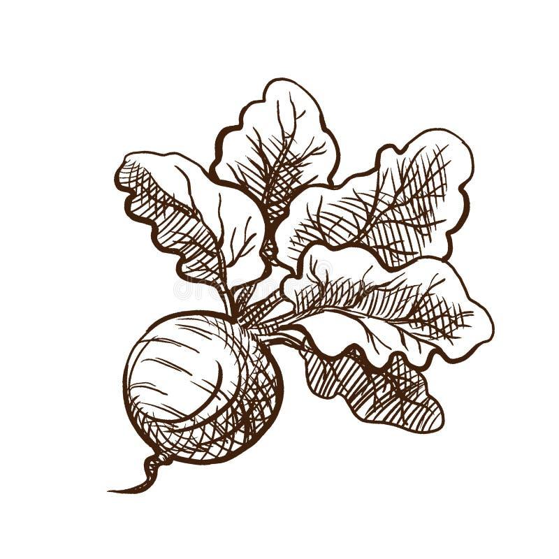 Verse bieten met bundel van bladeren Nuttige groenten, vegetarisme royalty-vrije illustratie