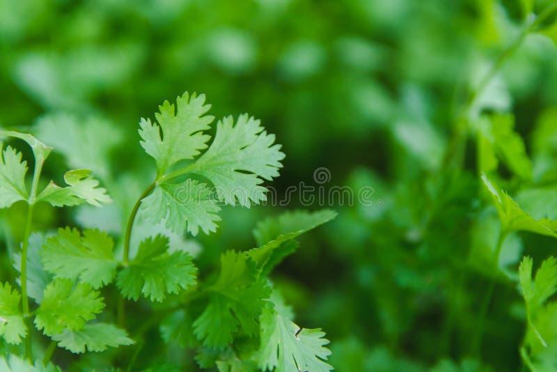 Verse blad groene koriander in een tuin De plantaardige koriander voor gezondheid wordt gebruikt als voedselingrediënt in Thailan stock fotografie