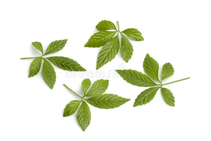 Verse bladeren Jiaogulan stock foto