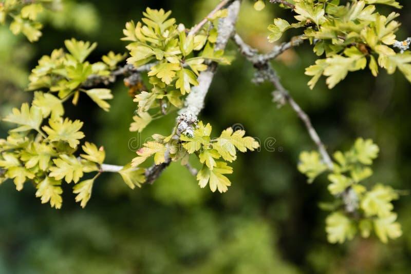 Verse bladeren met korstmos op de tak royalty-vrije stock afbeeldingen