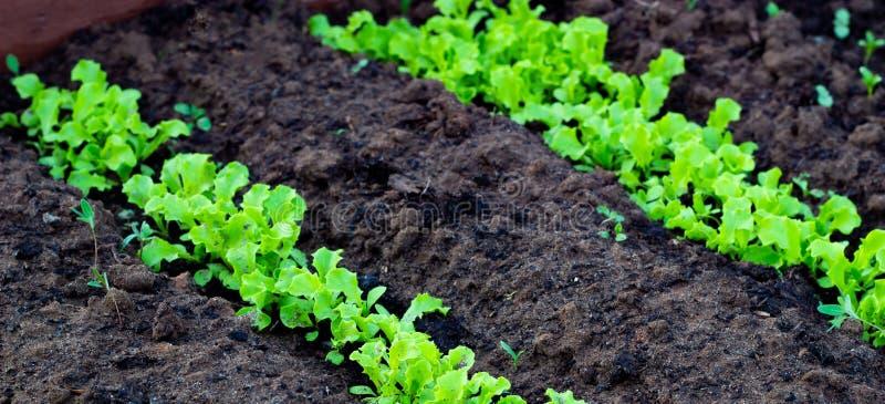 Verse bladeren van het groene slasalade groeien in grond in tuin Groeiende organische groenten stock foto