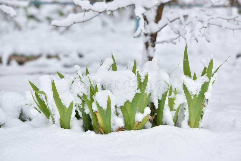 Verse bloem in een tuin onder sneeuw in April royalty-vrije stock afbeelding