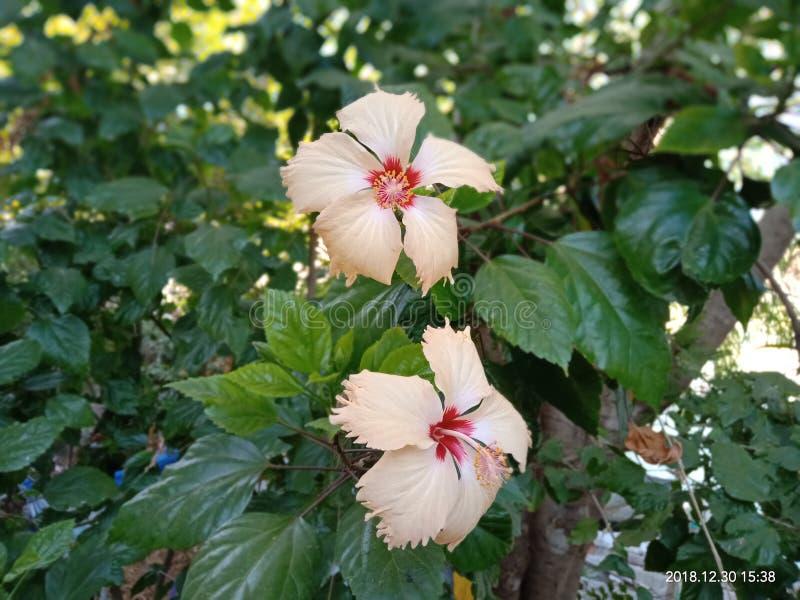 Verse bloem van jasmijn royalty-vrije stock afbeelding
