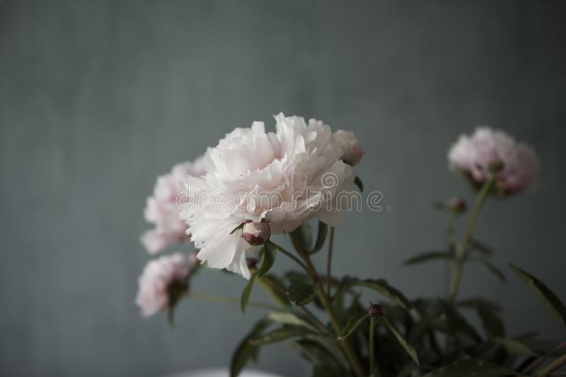 Verse bos van de roze bloemen van pioenenrozen royalty-vrije stock afbeelding