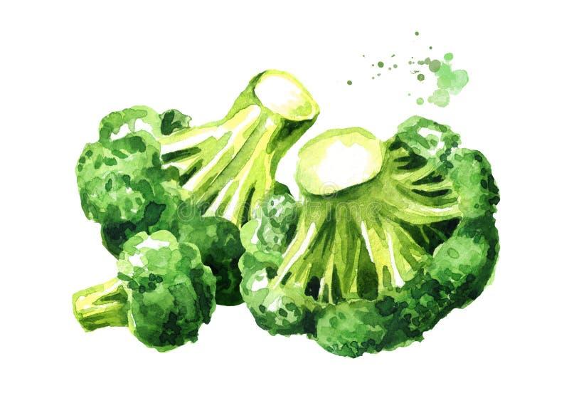 Verse broccoli Hand getrokken die waterverfillustratie, op witte achtergrond wordt ge?soleerd royalty-vrije illustratie