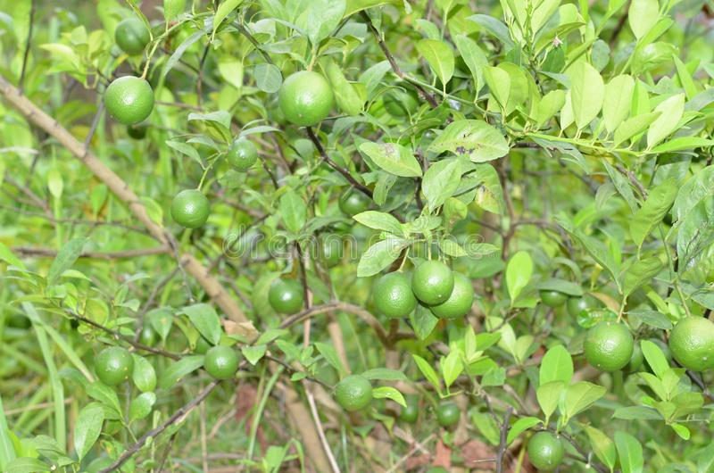 Verse citroen in de tuin royalty-vrije stock afbeelding