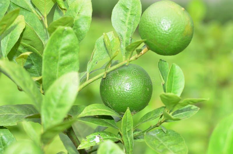 Verse citroen in de tuin royalty-vrije stock fotografie