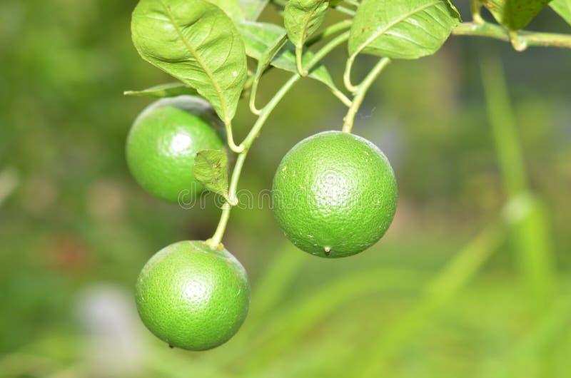 Verse citroen in de tuin, textuur royalty-vrije stock foto