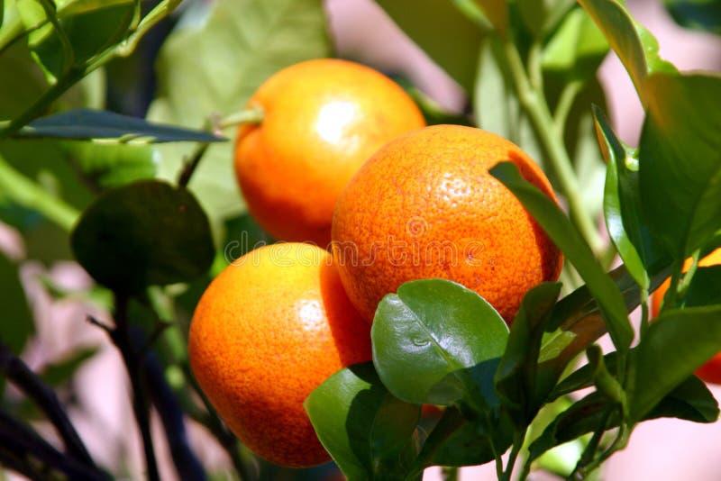 Download Verse Citrusvrucht stock afbeelding. Afbeelding bestaande uit sinaasappel - 37267