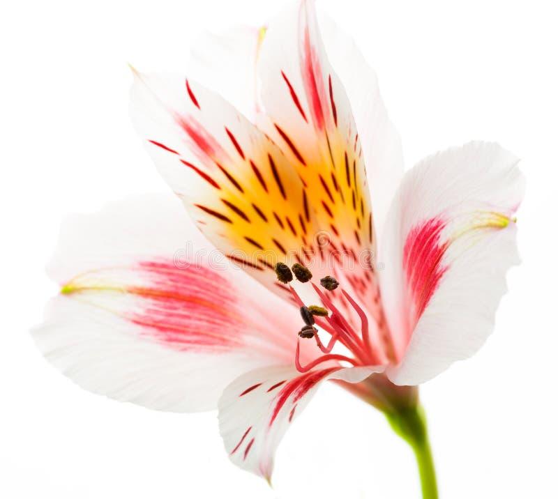 Verse die Astromeriya-bloem op wit wordt geïsoleerd stock afbeeldingen