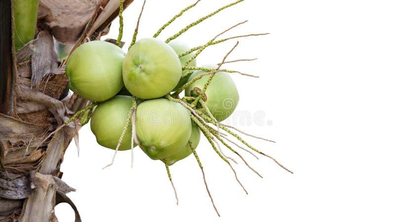 Verse die kokosnoot op de boom, kokosnotencluster op kokospalm op witte achtergrond wordt geïsoleerd royalty-vrije stock foto