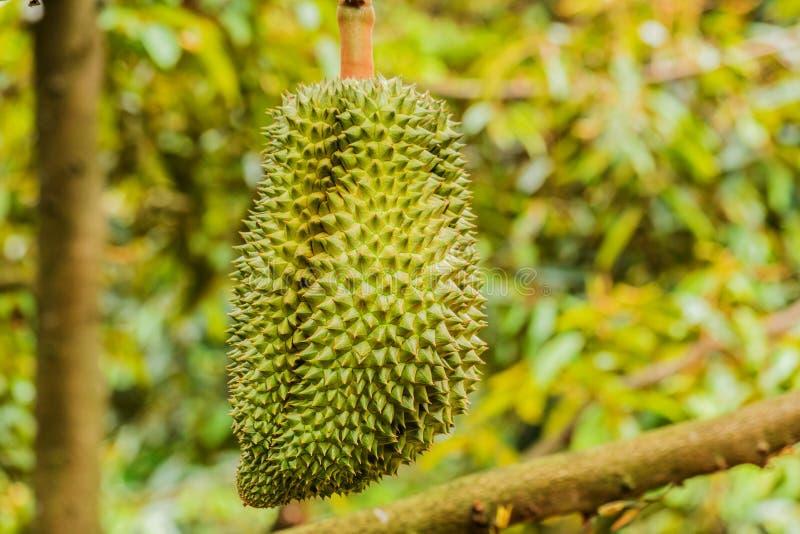 Verse durian tropische fruitteelt op durian boominstallatie in tuin royalty-vrije stock afbeeldingen