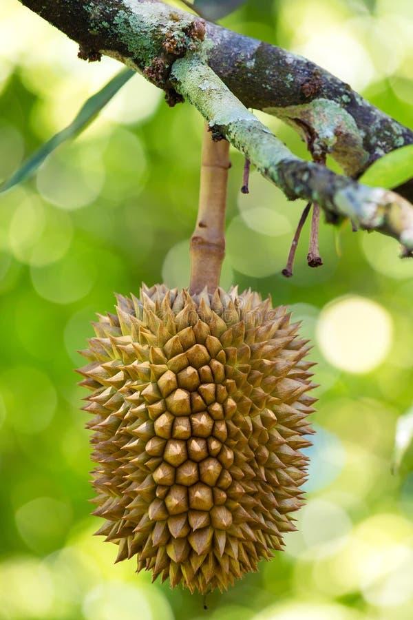 Verse durians, de koning van fruit op de boom stock afbeeldingen