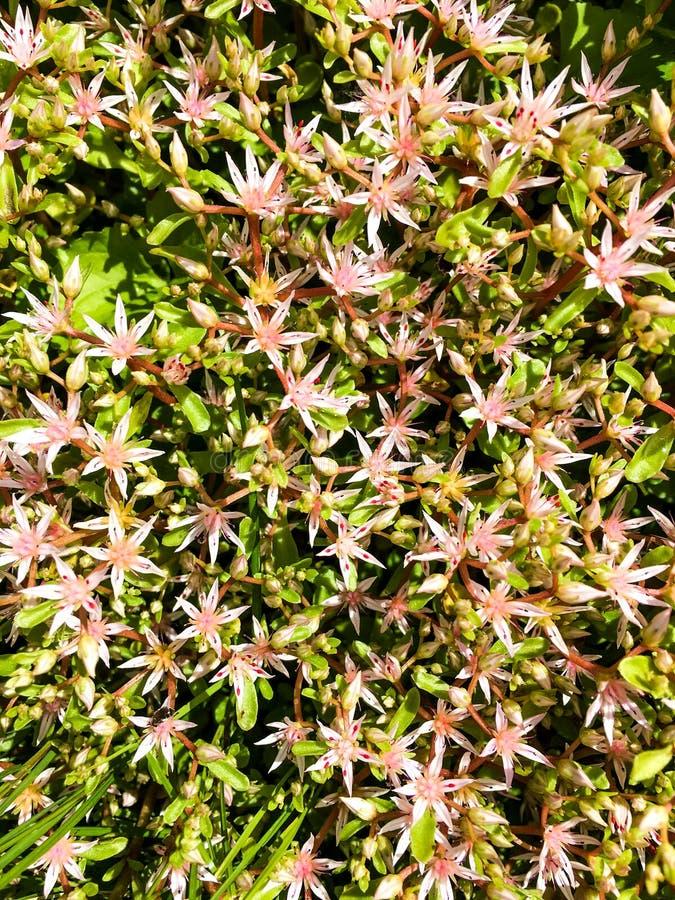 Verse Edelweissbloemen stock afbeelding
