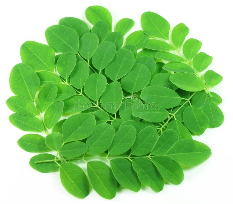 Verse eetbare moringa bladeren stock afbeelding