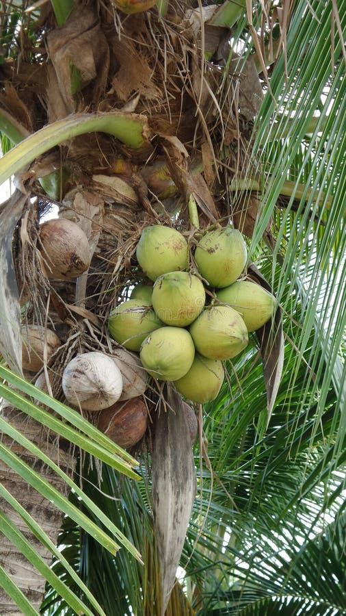 Verse en droge kokosnoot op boom stock afbeelding