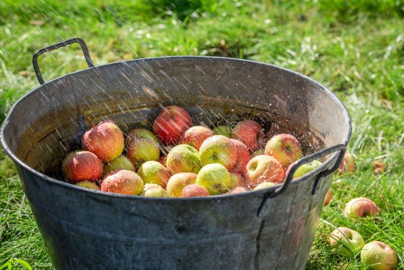 Verse en gezonde appelen in zonnige dag stock afbeelding