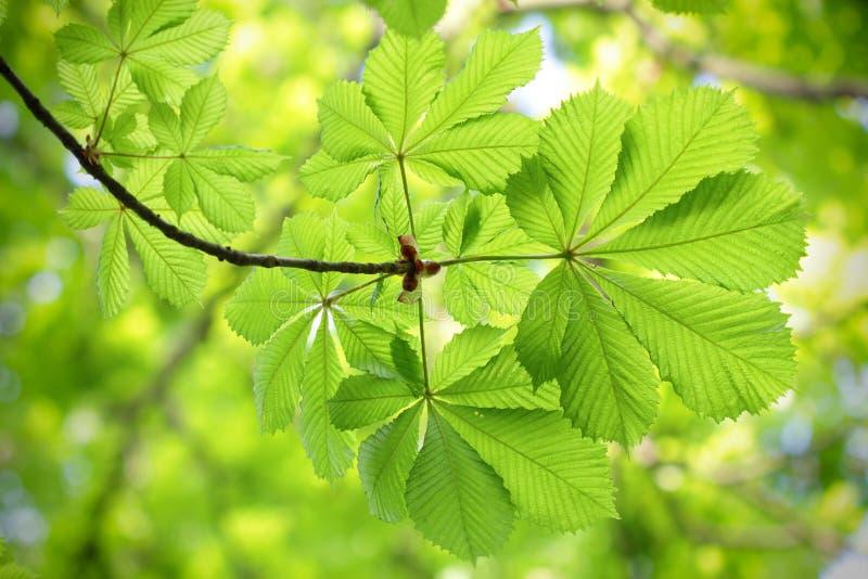 Verse en nieuwe groene kastanjebladeren royalty-vrije stock afbeelding