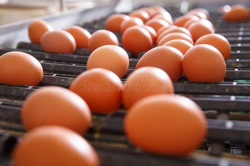 Verse en ruwe kippeneieren op een transportband stock foto's