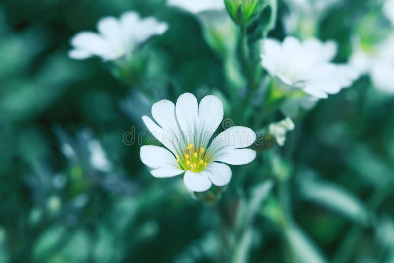 Verse en witte bloem op de zomergebied Bloeiende wilde installatie stock foto