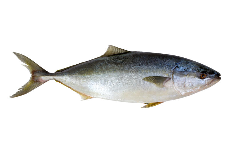 Verse geïsoleerdej tonijnvissen stock foto