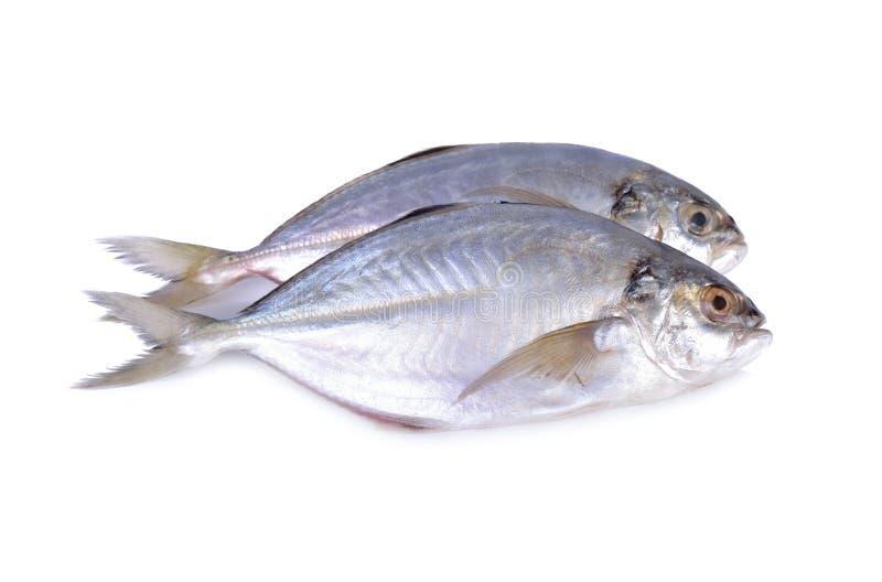 Verse gehele ronde Garnalen scad vissen op witte achtergrond royalty-vrije stock afbeeldingen