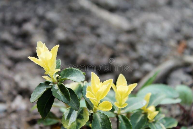 Verse gele bladeren van installatie royalty-vrije stock afbeelding