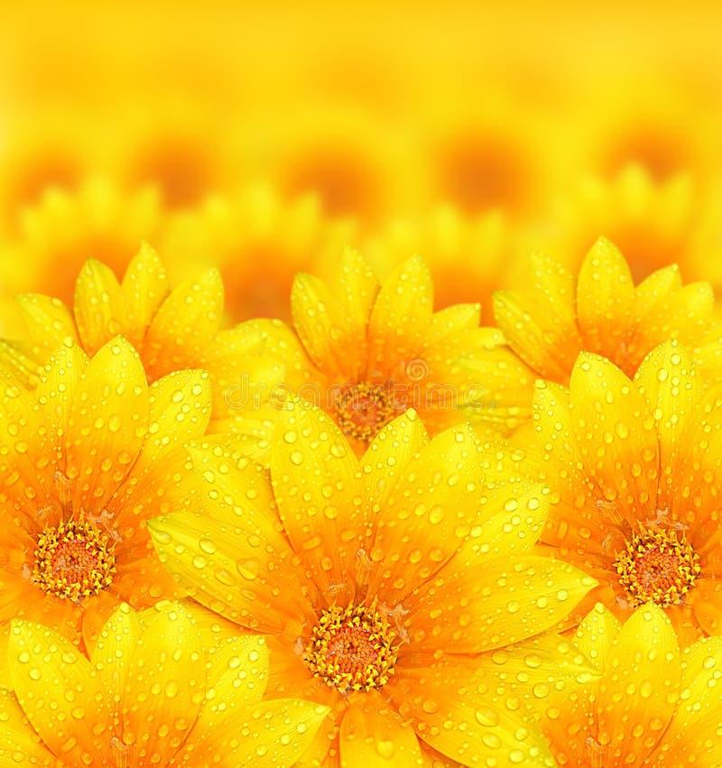 Verse gele bloemachtergrond stock foto's