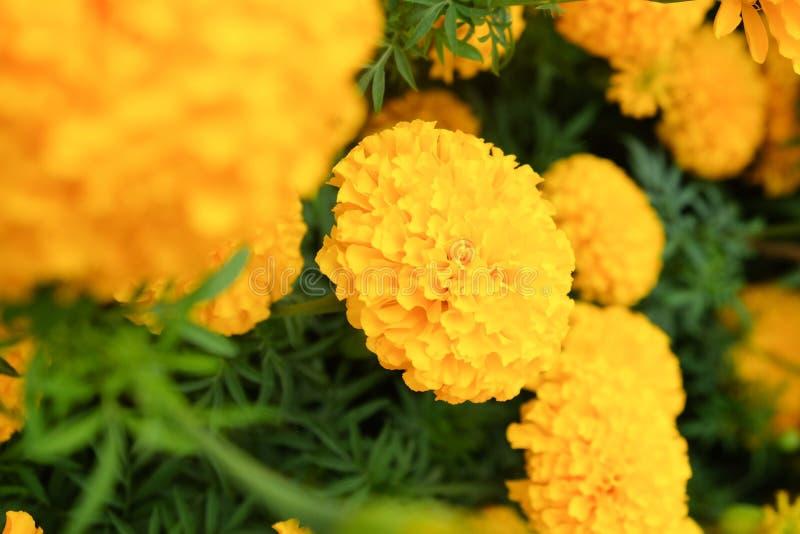 Verse Gele Goudsbloembloemen stock foto
