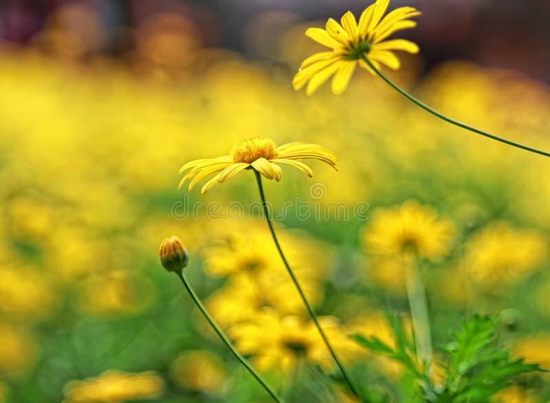 Verse gele madeliefjebloem stock afbeelding