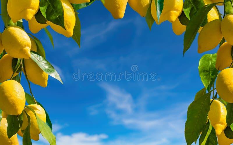 Verse gele rijpe citroenen met groene bladeren stock foto's