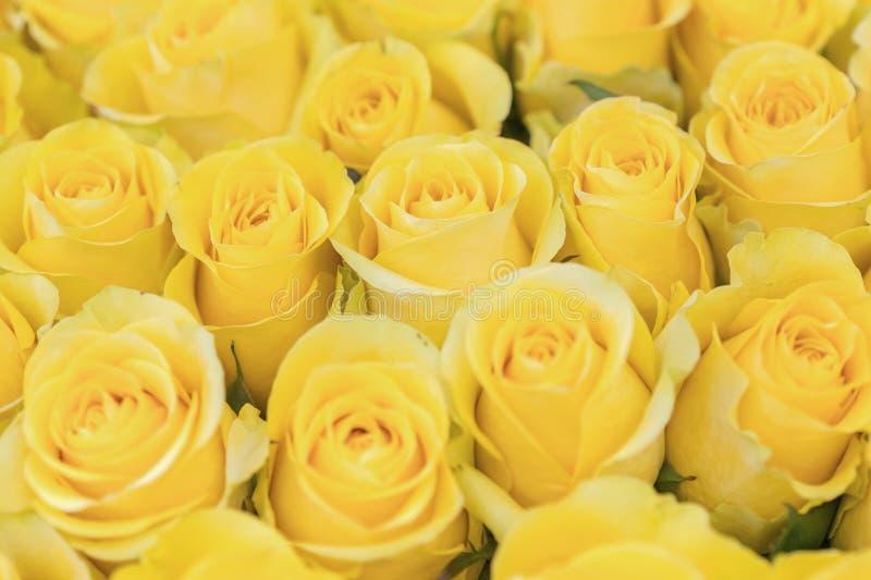 Verse gele rozenachtergrond Een reusachtig boeket van bloemen De beste gift voor vrouwen stock afbeeldingen