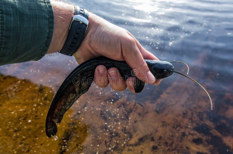 Verse gevangen kleine katvis van het meer stock afbeelding