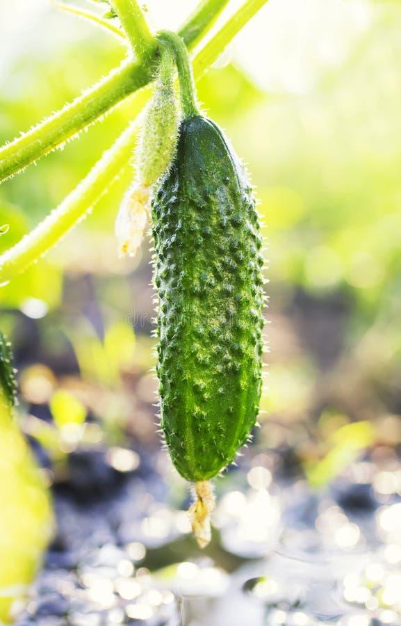 Verse gezonde plantaardige groene die komkommer in de tuin op t wordt gekweekt stock afbeeldingen