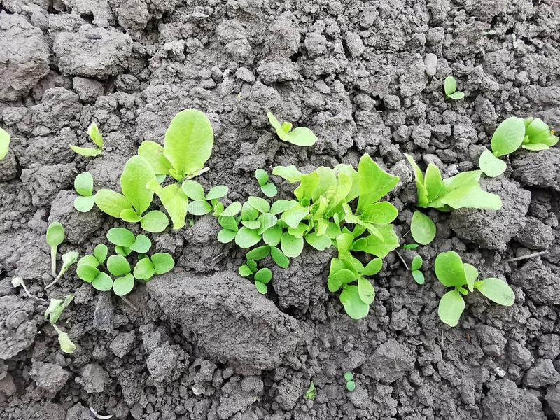 Verse groene babysalade royalty-vrije stock foto
