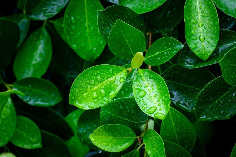 Verse Groene Bladeren met Waterdalingen na Harde Regen in de Ochtend stock fotografie