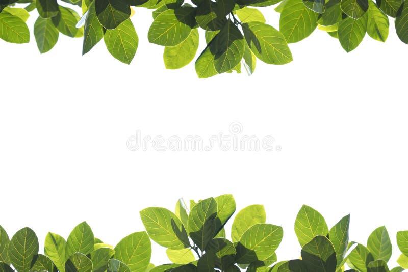 Verse groene bladeren op witte achtergrond royalty-vrije stock foto's