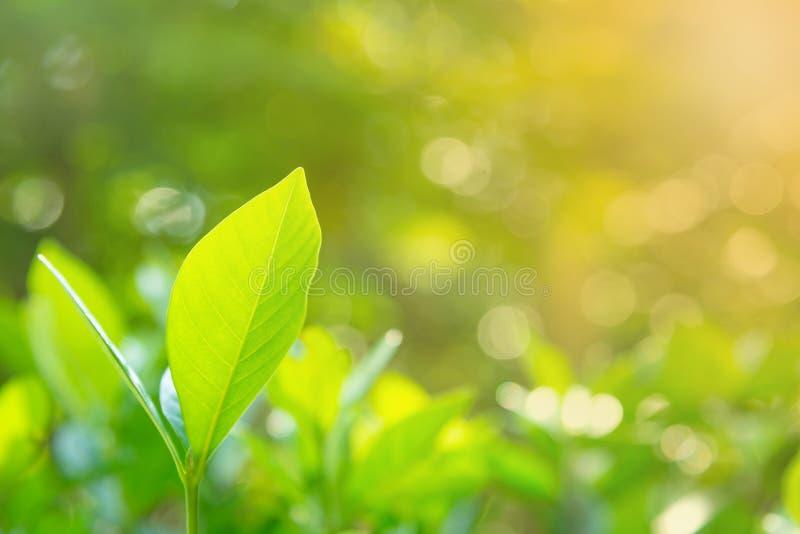 Verse groene bladeren tegen ochtendlicht royalty-vrije stock fotografie
