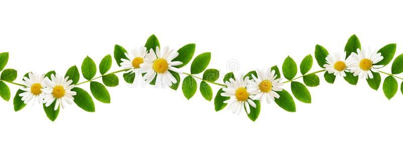 Verse groene bladeren van Siberische peashrub en madeliefjebloemen in overzees stock foto's
