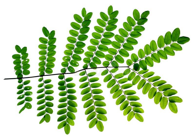 Verse Groene bladerenachtergrond stock afbeelding