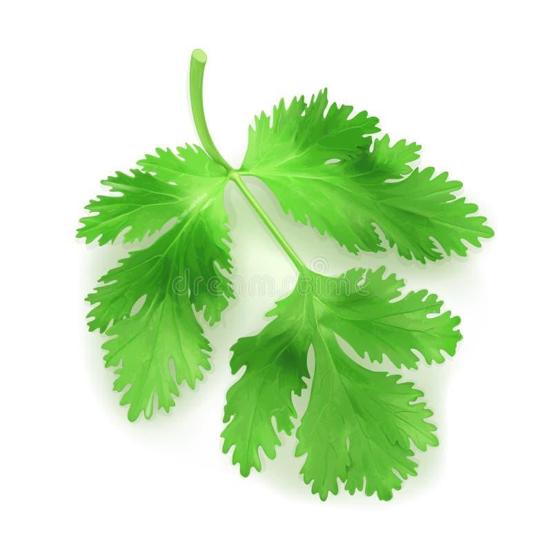 Verse groene bladerenkoriander royalty-vrije illustratie