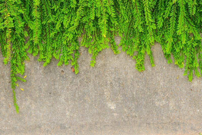 Verse groene bladinstallatie op de achtergrond van de grungemuur. stock afbeelding