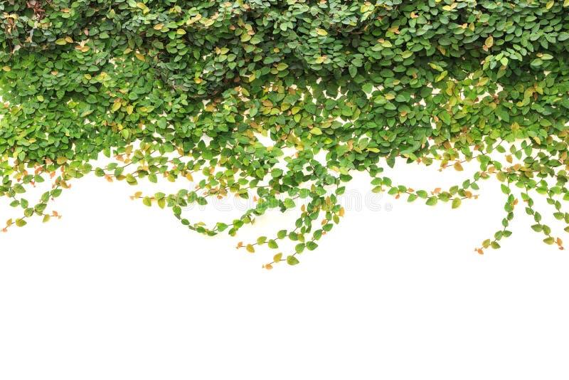Verse groene die klimop op witte achtergrond wordt geïsoleerd De decoratie van de tuin royalty-vrije stock foto's