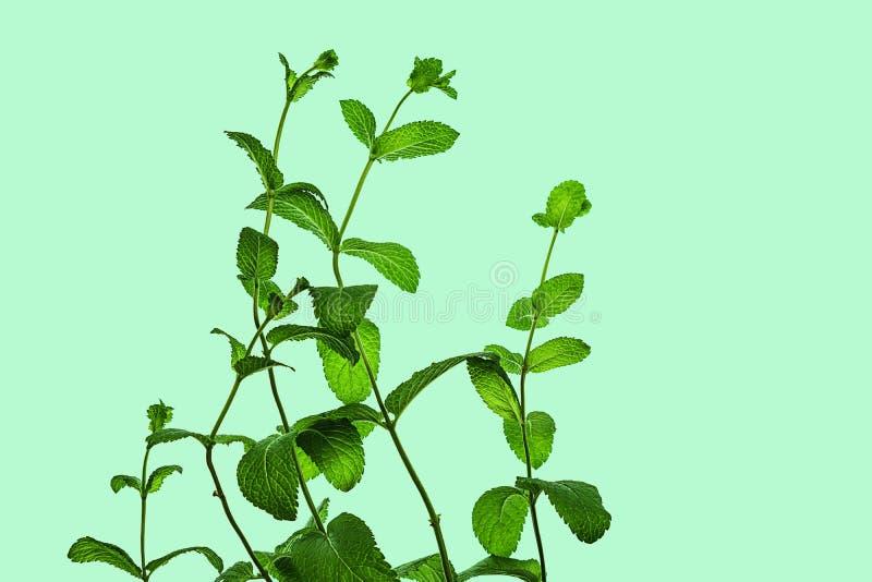 Verse groene die muntbladeren op pastelkleur blauwgroene achtergrond worden ge?soleerd royalty-vrije stock foto
