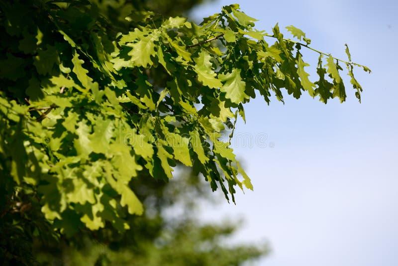 Verse groene eiken bladeren op een boom op een heldere dag stock afbeeldingen