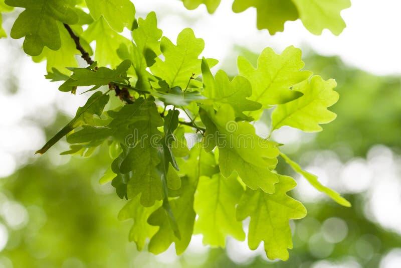 Verse groene eiken boombladeren over wit royalty-vrije stock fotografie