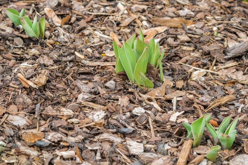 Verse groene installaties die op schorsmuls groeien in de lente stock foto's
